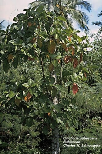 """El """"Árbol de la Fiebre"""", recibía este nombre porque el efecto antipirético de la corteza del árbol de la quina paliaba los efectos del paludismo"""