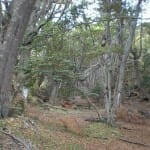 Bosque de nothofagus